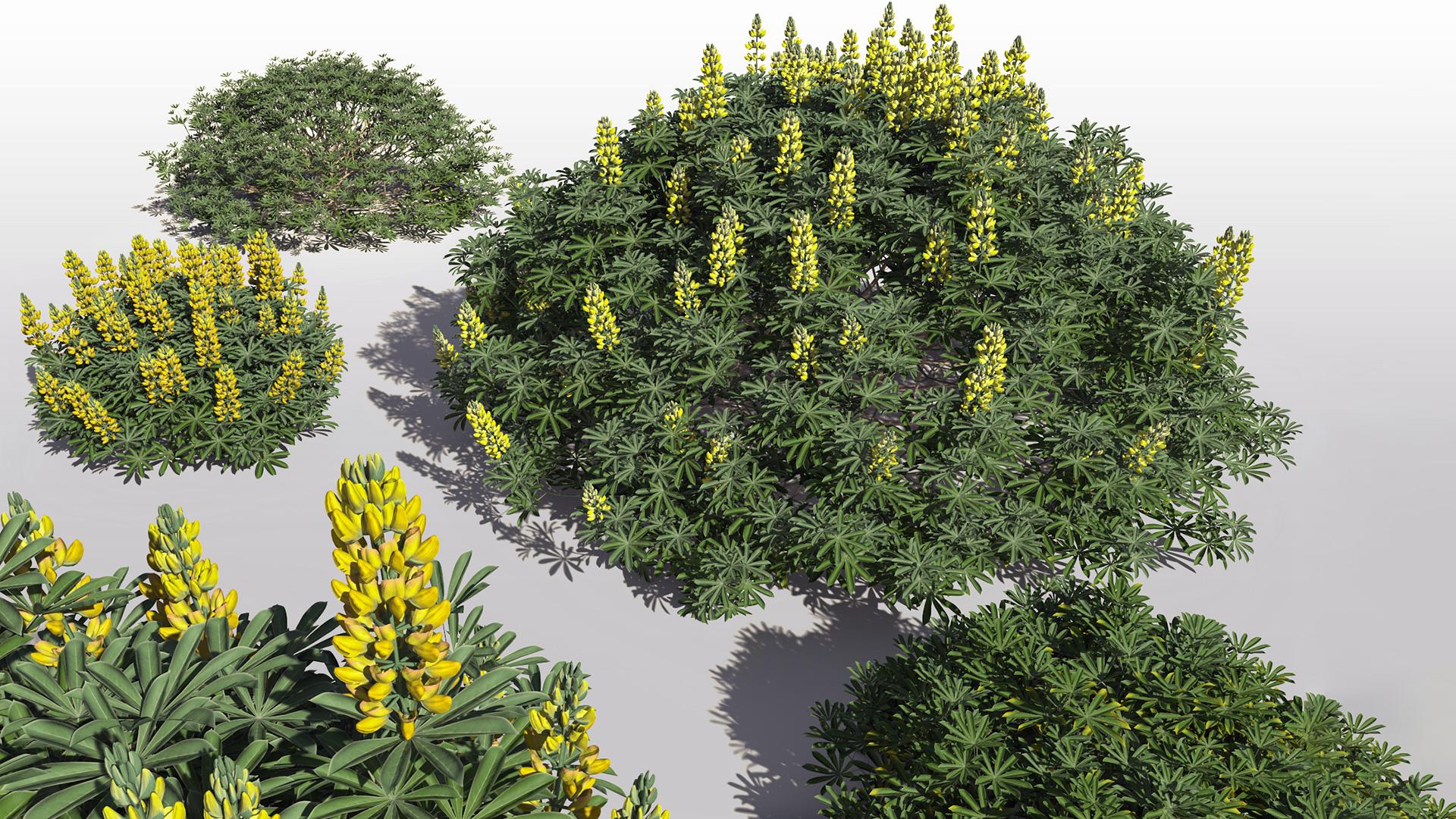 3D model of the Yellow bush lupine Lupinus arboreus different presets