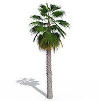 3D model of the Mexican fan palm - Washingtonia robusta - from the PlantCatalog, rendered in VUE