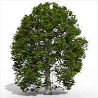 3D model of the Red horse chestnut - Aesculus x carnea - from the PlantCatalog, rendered in VUE