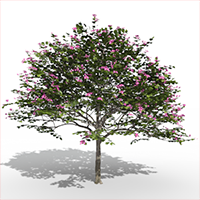 3D model of the Hong Kong orchid tree - Bauhinia blakeana - from the PlantCatalog, rendered in VUE