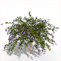 3D model of the Golden dewberry - Duranta repens - from the PlantCatalog, rendered in VUE