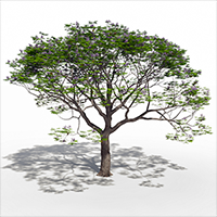 3D model of the Chinaberry tree - Melia azedarach - from the PlantCatalog, rendered in VUE