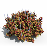 3D model of the Vulcan' Coleus - Plectranthus scutellarioides 'Vulcan' - from the PlantCatalog, rendered in VUE
