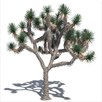 3D model of the Joshua tree - Yucca brevifolia - from the PlantCatalog, rendered in VUE